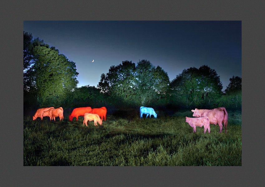 Bressuire, élevage de bovins à Clazay.